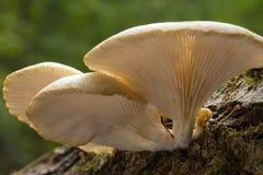 Pilz mit Kiemen Stockbild