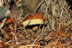 Pilz nach dem Regen Stockbilder