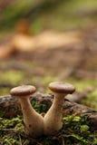 Pilz-Paare Lizenzfreies Stockbild