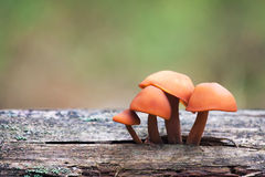 Pilz-Reihe: Enokitake (Winterpilze, Samtfuß, velv Lizenzfreie Stockfotos