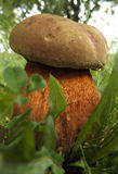 Pilz unter dem Gras Lizenzfreie Stockfotografie