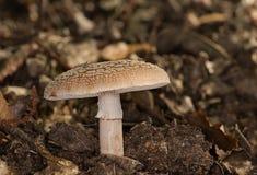 Pilz von Frankreich Stockbild