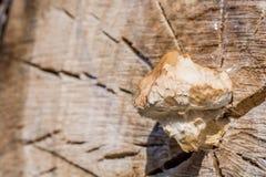 Pilz wächst aus altem Baumstamm heraus stockbild