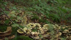 pilz Wilder Pilz Browns am großen Baum, der unten in den tiefen Waldwaldpilz mit grünem Moos und Farn fiel stock footage