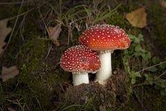 Pilz zwei im Herbstwald Stockbilder