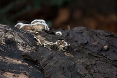 Pilzartig, auf einer alten gefallenen Anmeldung den Wald im Herbst wachsend stockbilder