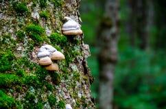 Pilzartiges Wachsen auf Moos Stockfotografie