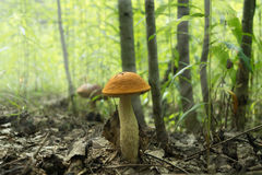 Pilzboletus im Wald badete im natürlichen Licht Stockbilder