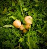 Pilze angeordnet im Laub lizenzfreie stockfotos