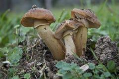 Pilze, Armillaria mellea Stockfoto