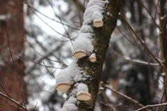 Pilze auf Bäumen im Winter unter Schnee Aktien für den Winter für Tiere, Nahrung stockfoto