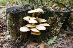 Pilze auf Baumstumpf Stockbilder