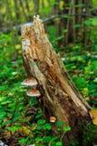 Pilze auf dem Stumpf Stockfotos