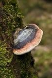 Pilze auf einem Baum Stockbilder