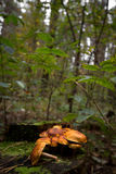 Pilze auf einem Baumstumpf Stockfoto