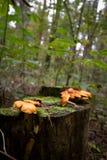 Pilze auf einem Baumstumpf Stockfotografie