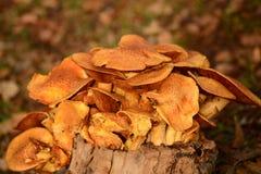 Pilze auf einem Baumstumpf Lizenzfreie Stockfotografie
