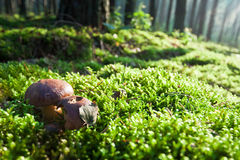 Pilze auf moosigem Feld im nebelhaften Wald Stockbilder