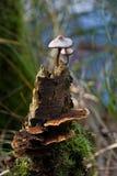 Pilze auf toter Birke Stockbild