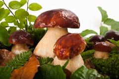 Pilze (Boletus essbar) Lizenzfreies Stockfoto