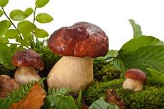 Pilze (Boletus essbar) Lizenzfreie Stockbilder