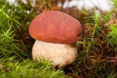 Pilze (Boletus essbar) Lizenzfreies Stockbild