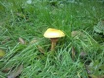 Pilze de Mashroom Photographie stock