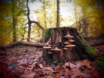 Pilze, die auf einem alten Baumstumpf in einem wilden und romantischen forrest wachsen lizenzfreies stockbild