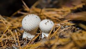 Pilze, die im Wald wachsen lizenzfreie stockbilder