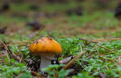 Pilze, die im Wald wachsen Stockbild