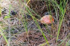 Pilze, die im Wald wachsen Lizenzfreies Stockfoto