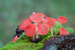 Pilze höhlen rote Pilz- oder Champagnerpilze Stockbilder
