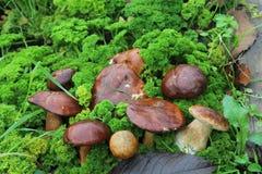 Pilze im Grastraum des Pilzpflückers lizenzfreie stockfotografie
