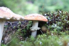 Pilze im Wald Stockbild