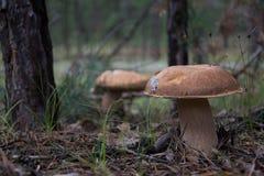 Pilze im Wald Lizenzfreies Stockfoto
