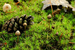 Pilze (Marasmius androsaceus) lizenzfreie stockfotos