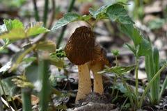 Pilze mit braunen geknitterten Kappen unter grünen Blättern von Anlagen lizenzfreie stockfotografie