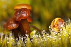 Pilze und Gras im Tau Lizenzfreies Stockbild