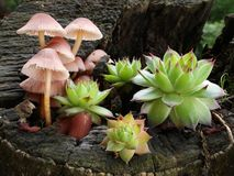 Pilze und houseleeks Stockfoto