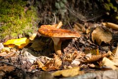Pilze wachsen im Wald, der giftig ist, ungenießbar lizenzfreie stockfotos