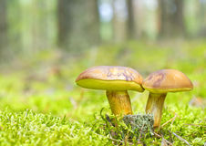 Pilzfamilie im Moos Stockfotos