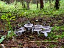 Pilzgruppe im Wald Stockfotografie