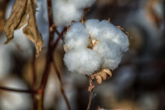 Pima Cotton Plant Field Stock Photo