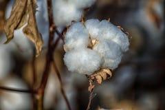 Pima Cotton Plant Field. Ripe cotton plant in an Arizona desert farm cotton field Stock Photo