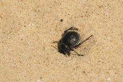 Pimeliabipunctata wordt begraven in het zand Royalty-vrije Stock Afbeelding
