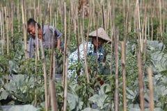 Pimentão da colheita Fotografia de Stock