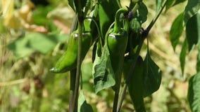 Pimentão picante verde na haste da planta video estoque