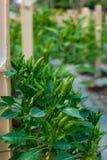 Pimentões do olho do ` s do pássaro ou paprika tailandesa no jardim Fotografia de Stock