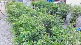 Pimentões na árvore Imagem de Stock