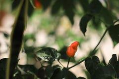 Pimentões no jardim fotografia de stock